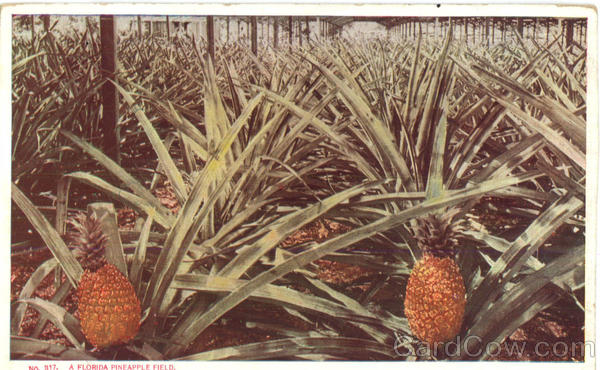 A Florida Pineapple Field Scenic Fruit