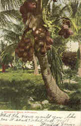 Coconut Palm In Florida