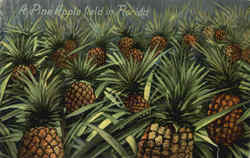 A Pine Apple Field In Florida