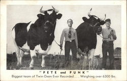 Pete and Punk - Biggest Team of Twin Oxen Ever Recorded