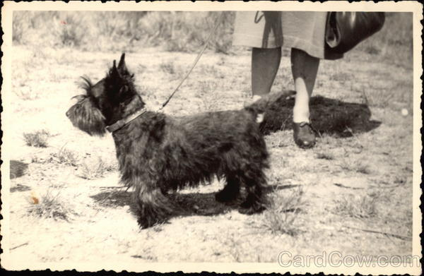 Black Scottish Terrier on a Leash Scottish Terriers