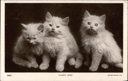 Fluffy KIts - White KIttens