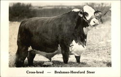 Cross-bred - Brahman-Hereford Steer