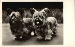 Pair of Long Haired Terrier Dogs