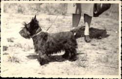 Black Scottish Terrier on a Leash