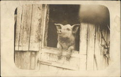 Photograph of Pig Sticking Head out of Barn Door