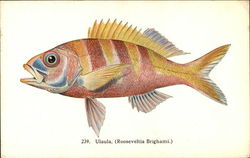 Fishes of Hawaii: Ulaula Also Known As Rooseveltia Brighami