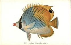 Lahau (Chaetodon setifer) - Fish of Hawaii