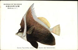 Bureau of Science Aquarium, Manila, P.I., Carona Taurichthys varius (Cuvier and Valenciennes)