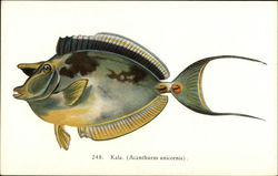 Kala (Acanthurus unicornis) - Fish of Hawaii