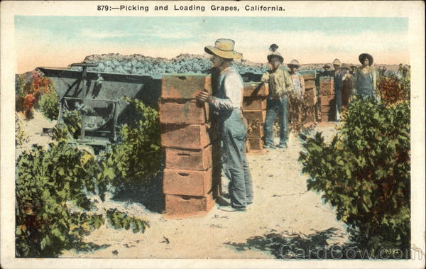 Picking and Loading Grapes California