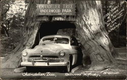 Chandelier Tree, Redwood Highway