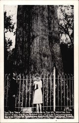 The Big Tree - Oldest Cypress in the US