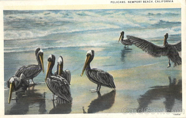 Pelicans, Newport Beach Birds
