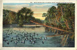 Wild Ducks On A Florida River