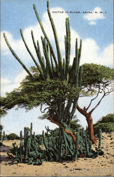Cactus in Bloom Aruba Caribbean Islands