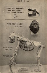 Skeleton of Gargantua, Barnum & Bailey's Gorilla