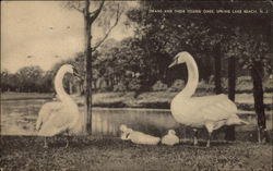 Swans and their Young Ones