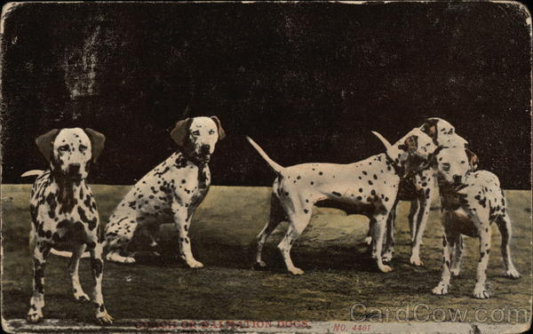 Dalmation Dogs