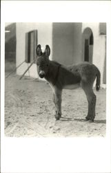 Young Donkey Standing in Front of A Home