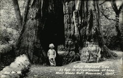 Hollow Redwood Tree 53 feet in circumference at base, Muir Woods Nat'l. Monument, Calif