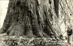 General Custer Sequoia Semperviven Redwood Tree The Oldest Living Thing