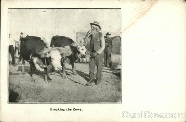 Breaking the Cows Cows & Cattle