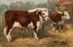 Hereford Bull and Cow, famous British Cattle standing in farm