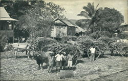 Sugar Cane Awaiting Transport to Factory