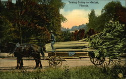 Taking Celery to Market, Florida