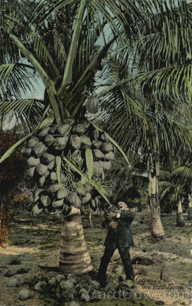 Coconut Palm And Fruit
