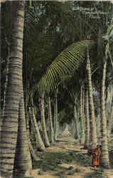 An Grove Of Coconut Palms