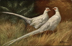 Pari of White Pheasants