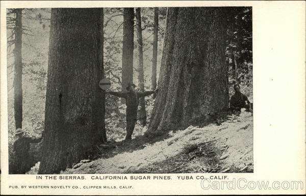 In the Sierras, California Sugar Pines, Yuba Co., Calif Clipper Mills
