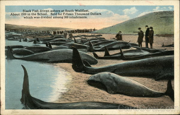 Black Fish Driven Ashore at South Wellfleet About 1500 in the School Massachusetts