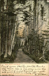 Birch Road in the Woods