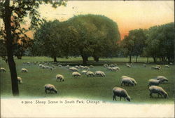 Sheep in South Park Postcard