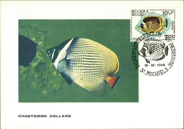 Redtail butterflyfish- Chaetodon collare Maximum Cards