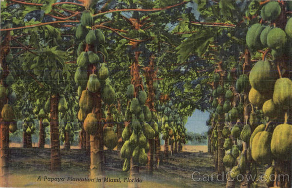 A Papaya Plantation In Miami, Mountain Lake Florida