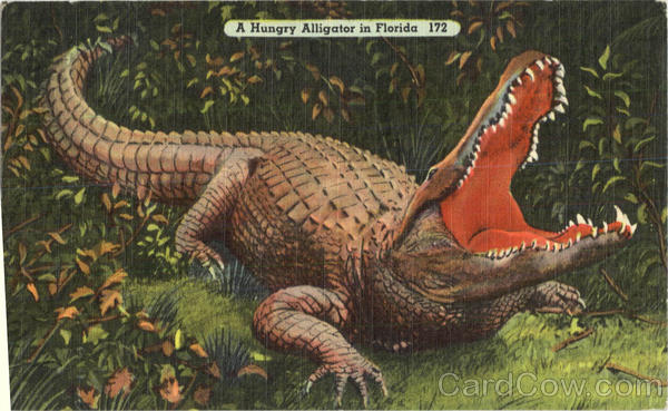 A Hungry Alligator In Florida Alligators