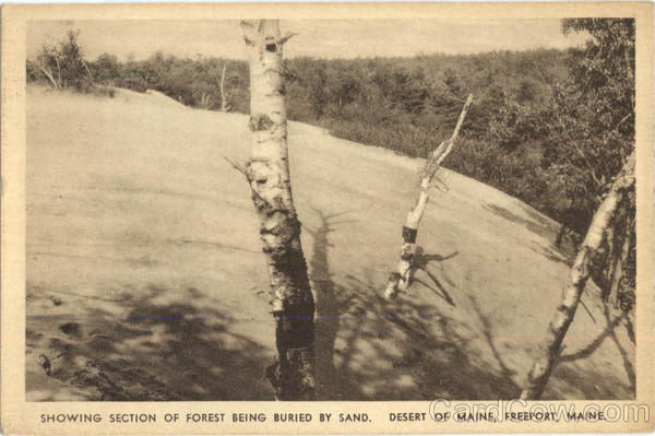Showing Section Of Forest Being Buried By Sand Freeport Maine