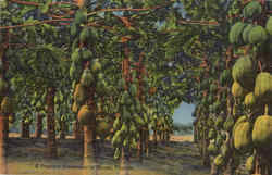 A Papaya Plantation In Miami, Mountain Lake