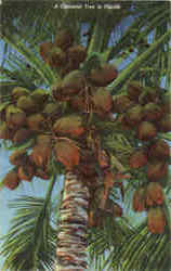 A Coconut Tree In Florida