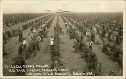 Loganberry Picking, U.S. Boys Working Reserve Camp, Vineyard of L.W. Roberts
