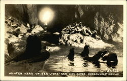Winter Herd of Sea Lions, Sea Lion Caves