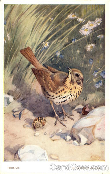 Song Thrush Birds