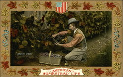 American Homestead Life - Man Gathering Grapes
