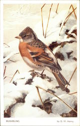 Brambling Bird