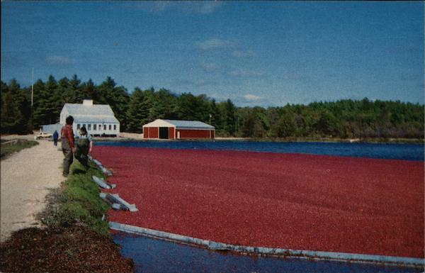 Cranberry Harvest Carver, MA