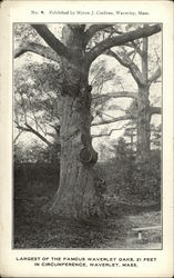 Largest of the Famous Waverley Oaks